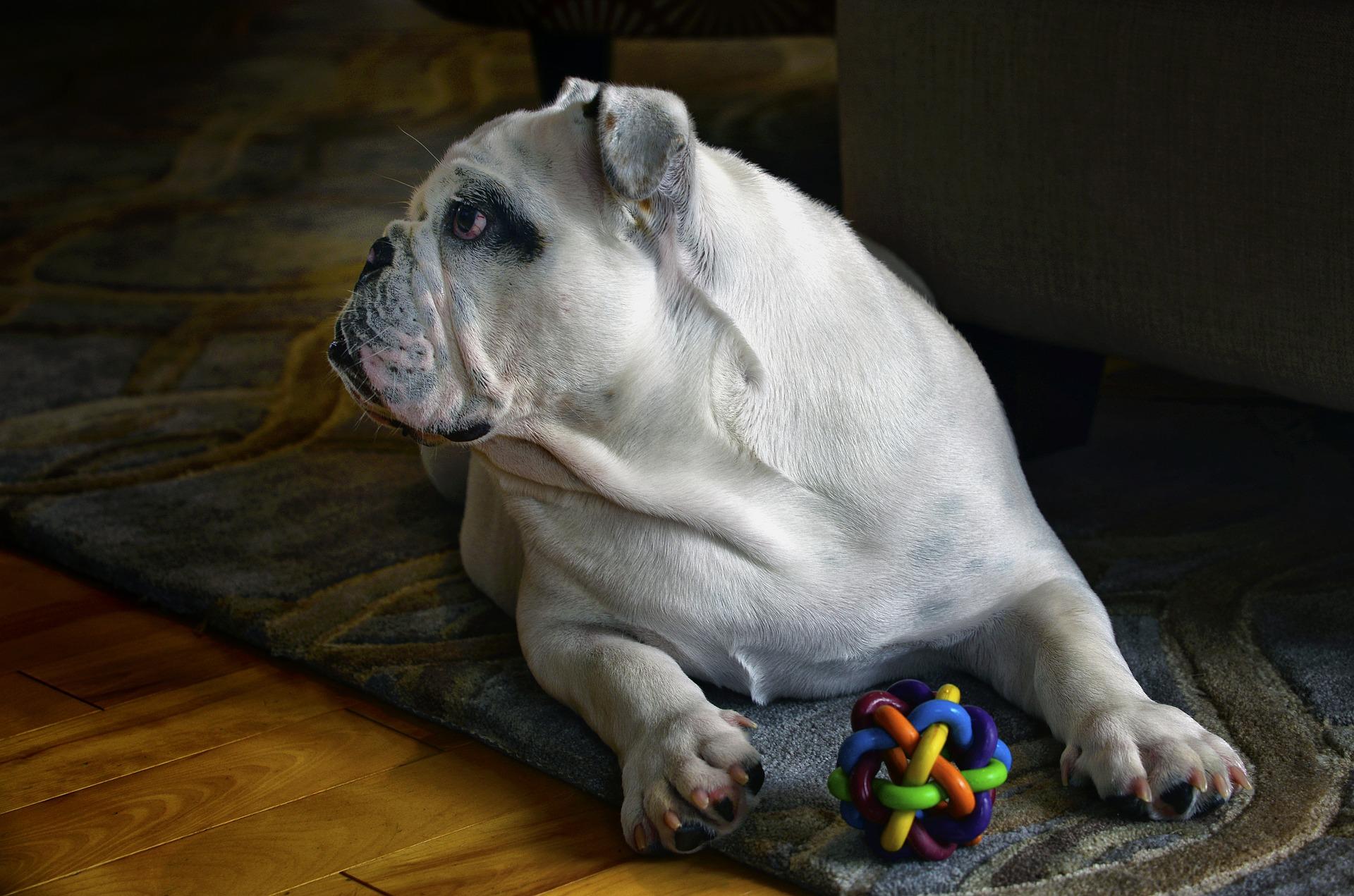 dog, dog toy, dog toys, bulldog