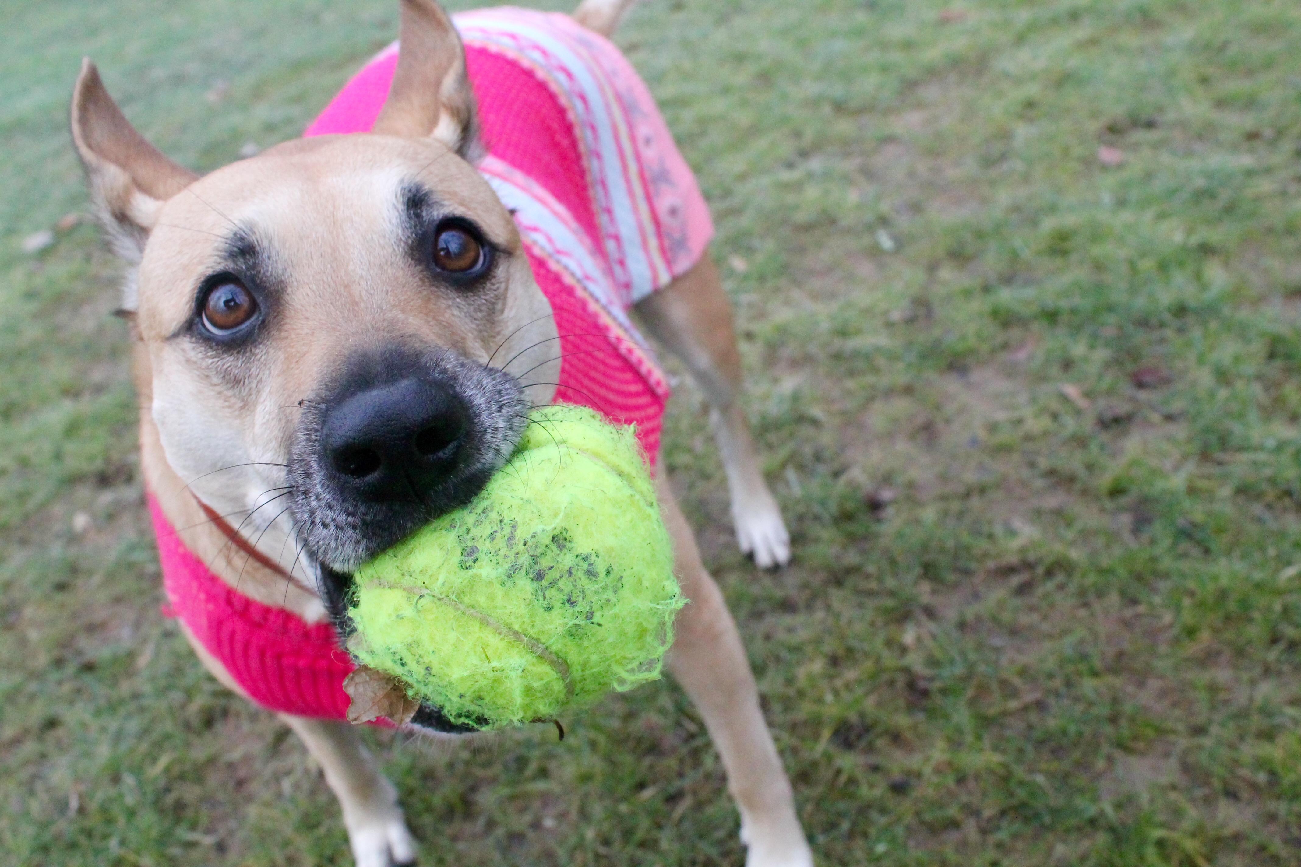 dog, tennis ball, kong, dog toy