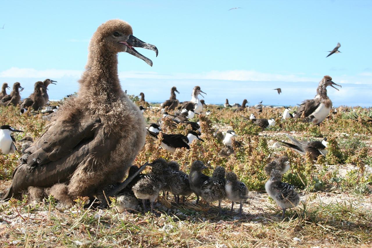 albatross, seabird, sea birds, animals, wildlife, marine life, marine animals